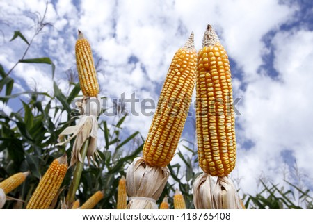 Corn cob. Corn crop. Brazilian farm with corn planting days of sunshine and blue sky.