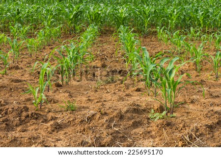 Corn crop was planted as rows growing on the soil fertility. - stock photo