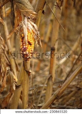 Corn destroyed by drought - stock photo