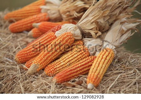 Corn dry on straw. - stock photo