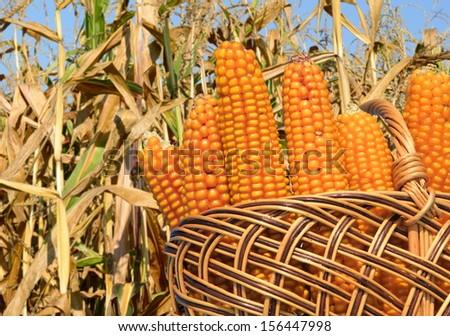 Corn ears in a basket against a field