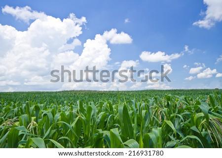 Corn farm against blue sky - stock photo