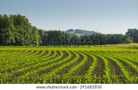 corn farm production in Basque Country - stock photo