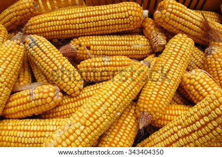corn farming corn Modena Emilia Romagna - stock photo