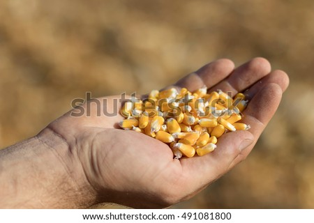 Corn feed in a hand in the field. Golden maize in hand.