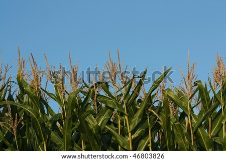Corn field against blue sky with copy space
