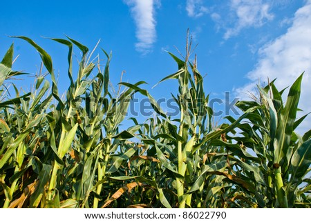 Corn field against bright blue sky and fluffy clouds. - stock photo