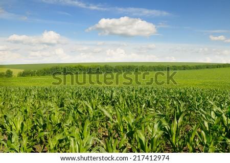 corn field and beautiful sky                                     - stock photo