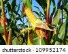 corn field and corn cob / corn field - stock photo