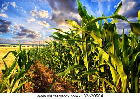 Corn field and sky with beautiful clouds / Corn field - stock photo