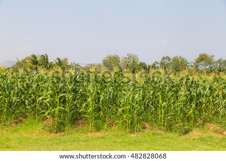 Corn field and sky with beautiful clouds, Organic agricultural