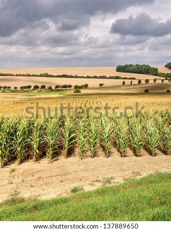 Corn field and storm clouds in the hot summer sun - stock photo