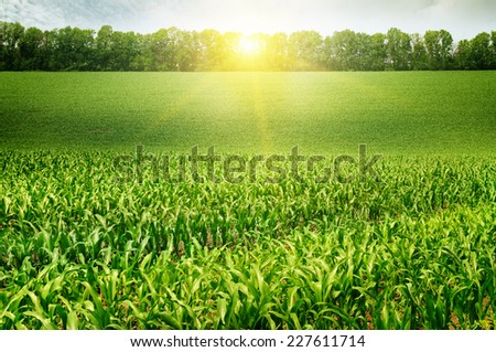 corn field and sunrise on blue sky - stock photo