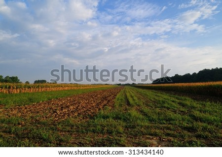 Corn field at early autumn morning