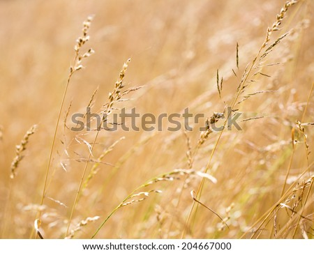 corn field background
