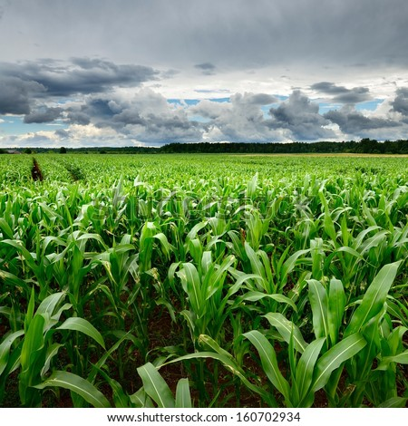 Corn field close-up against stormy sky - stock photo