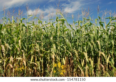 Corn field close up with blue sky  - stock photo