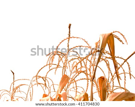 corn field, corn on the cob - stock photo
