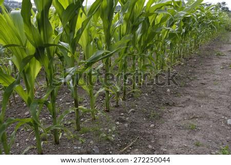 Corn field crop growing in rural area - stock photo