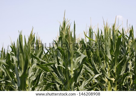 Corn Field green