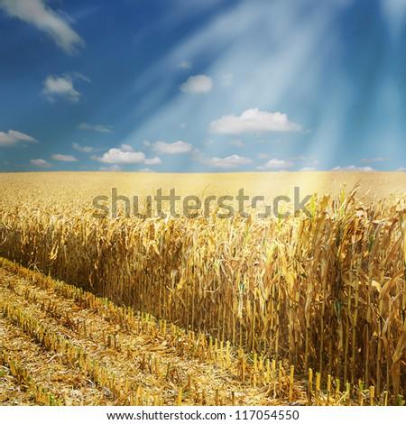 Corn field, half harvested with sun beams - stock photo