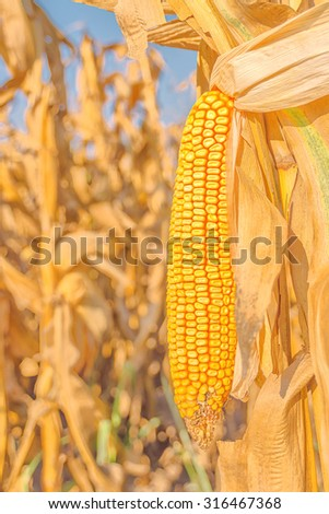 Corn field, harvest ready mature corn cob ear on stalk in cultivated maize field, close up with selective focus