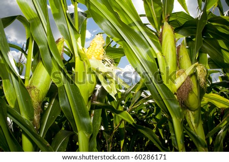 corn field in august - stock photo