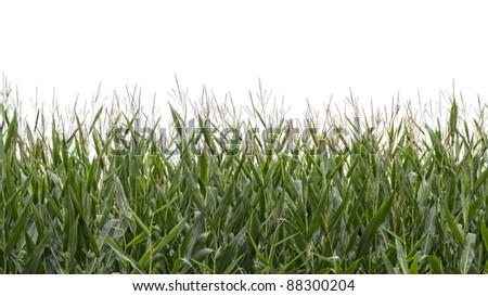 Corn field in autumn isolated on white - stock photo