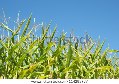 Corn field in clear day
