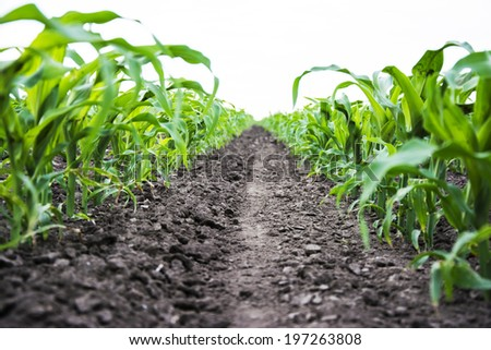 Corn field in early summer from the ground - stock photo