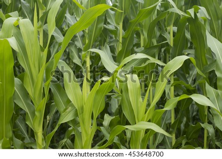 Corn field in Europe. Mid summer.