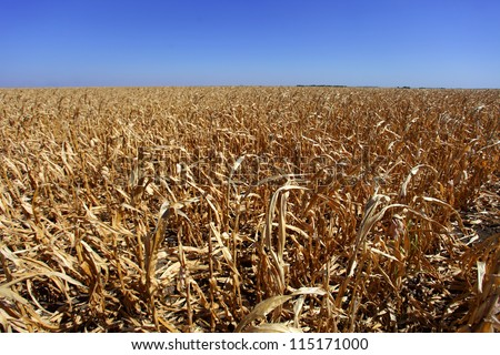 Corn field in Serbia in bad shape affected by drought - stock photo
