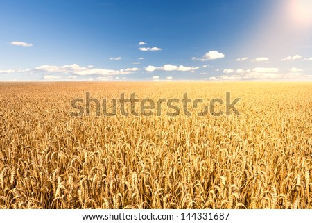 corn field in sunlight