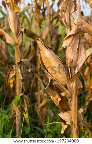 Corn field in Thailand unripened  - stock photo