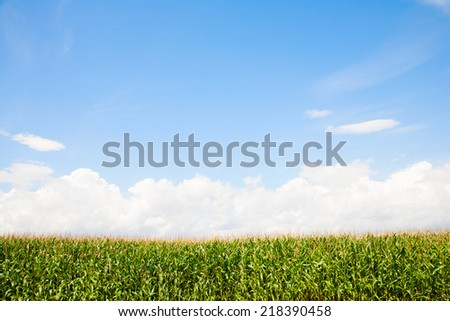 Corn field in the Netherlands  - stock photo