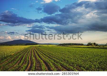 Corn field landscape with path before the sunset time, Poland, Lower Silesia. - stock photo