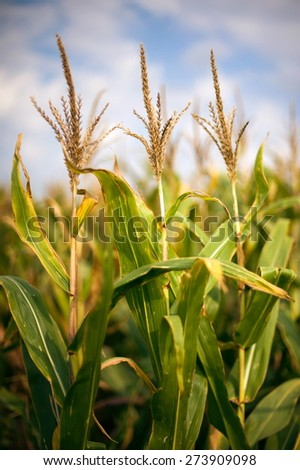 Corn field on sunny day - stock photo