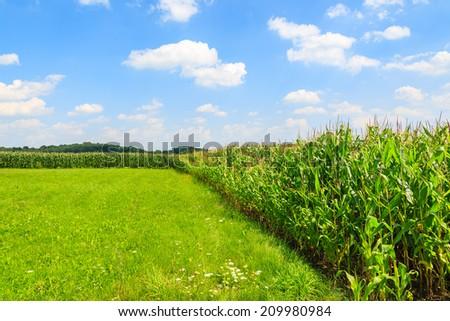 Corn field on sunny summer day in Paczultowice village near Krakow, Poland - stock photo