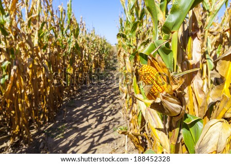 Corn Field (Patch)  - stock photo