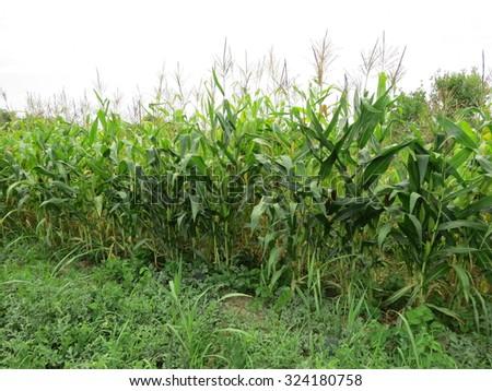 Corn field. Process of growth of corn, it still green also blossoms. - stock photo