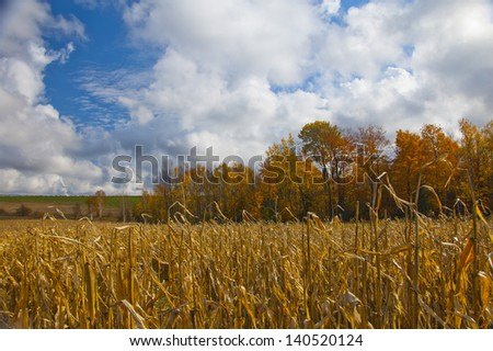 Corn field with autumn color in sunlight - stock photo