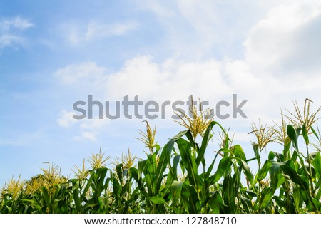 Corn field with cloudy blue sky - stock photo