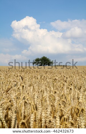 Corn field with solitary tree and sky (space/head room for copy text/headline)