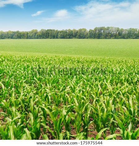 corn field with the young shoots - stock photo