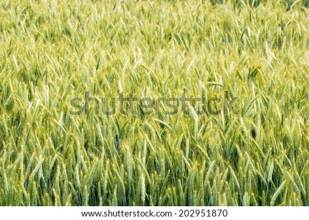 Corn field with young plants / Corn field - stock photo