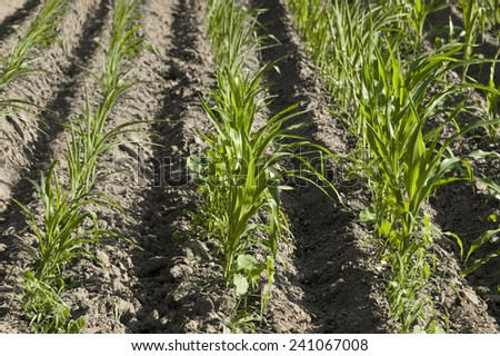 corn field with young seedlings - stock photo