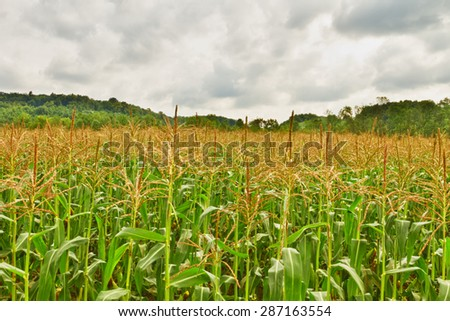 Corn fields - stock photo