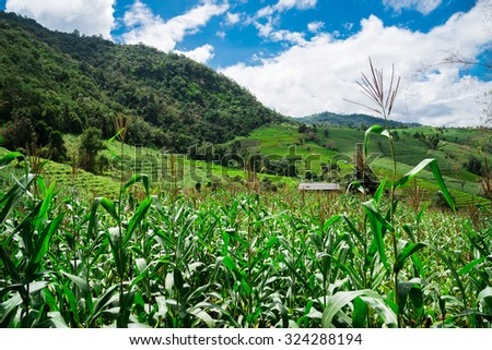 Corn fields on mountain under blue sky - stock photo