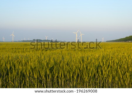 Corn growing on a field in spring