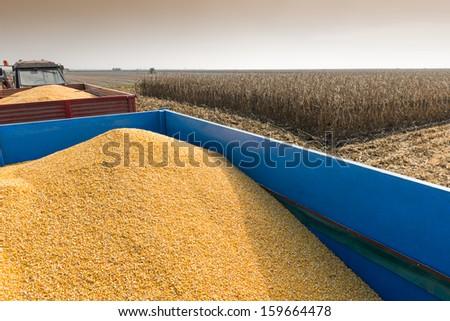 corn harvest on a farmland  - stock photo